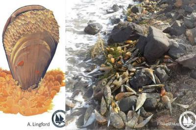 Πίννα: Άλλο ένα θαλάσσιο είδος κοντά στον αφανισμό