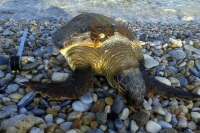 Θαλάσσια χελώνα εντοπίστηκε νεκρή στην Ύδρα - Ποιες οδηγίες ακολουθούμε όταν βρούμε θαλάσσια χελώνα