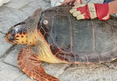 Νεότερα για την κατάσταση της θαλάσσιας χελώνας που διασώθηκε στην Ύδρα